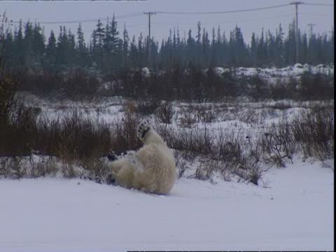 polar bear (ursus maritimus) rolling on its back, near churchill, manitoba, canada - auf dem rücken liegen stock-videos und b-roll-filmmaterial
