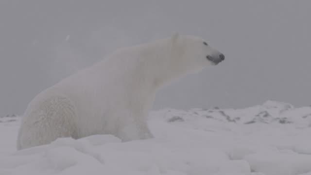 polar bear rolls around on snow - rolling stock videos & royalty-free footage