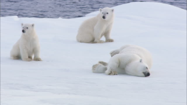stockvideo's en b-roll-footage met a polar bear rolls in the snow near its cubs in svalbard, norway. - welp