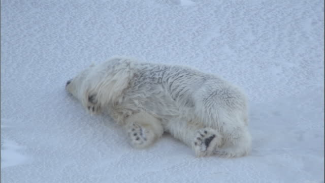vidéos et rushes de a polar bear rolls in the snow to dry off in svalbard, norway. - rouler ou dérouler