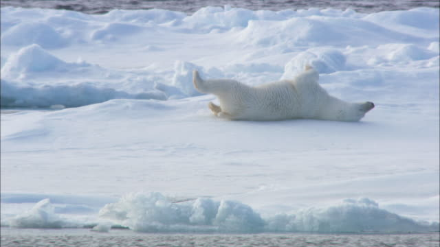 vidéos et rushes de a polar bear rolls on sea ice in svalbard, arctic norway. - rouler ou dérouler