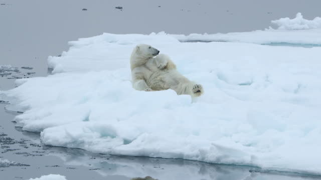 polar bear rolls over onto its back - polarklima stock-videos und b-roll-filmmaterial