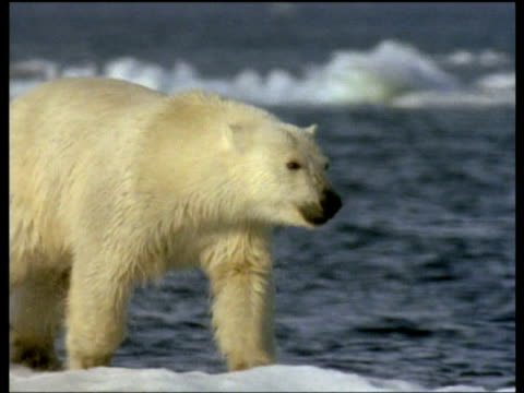Polar bear runs on ice then dives into water and swims, Svalbard