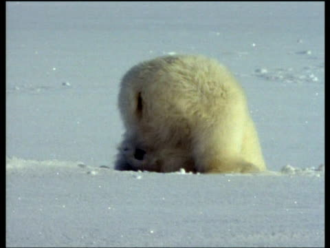 polar bear runs towards camera, dives headfirst into seal hole and tumbles over, lifts head from hole soaking wet and shakes, arctic - polarklima stock-videos und b-roll-filmmaterial