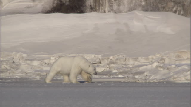 a polar bear saunters along an ice field in svalbard, norway. - bbc stock videos & royalty-free footage
