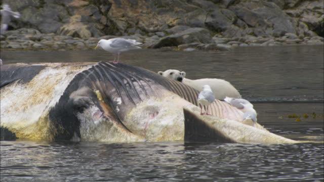 vídeos de stock e filmes b-roll de a polar bear scavenges on a dead whale carcass in svalbard, norway. - cetáceo