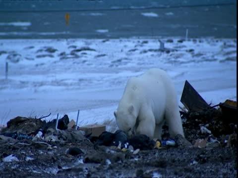 polar bear (ursus maritimus) scavenging on rubbish tip - garbage stock videos and b-roll footage