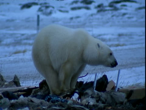 polar bear (ursus maritimus) scavenging on rubbish tip - bear stock videos & royalty-free footage