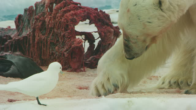 vídeos y material grabado en eventos de stock de cu polar bear scrapes snow near carcase with ivory gull watching comically - sediento
