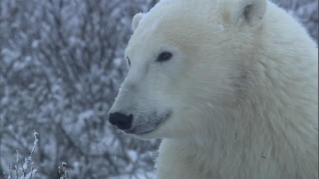 a polar bear shakes snow from its head in churchill, canada. - マニトバ州点の映像素材/bロール