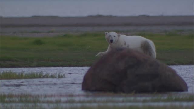a polar bear sitting and looking around in the north pole - 野生生物保護点の映像素材/bロール
