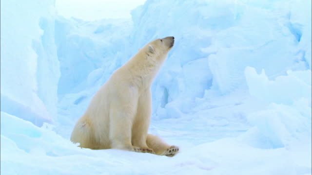 polar bear sitting and looking around on arctic glacier - sitting stock videos & royalty-free footage
