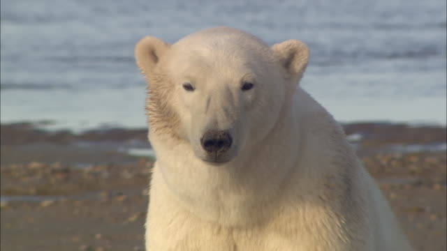a polar bear sitting by the shore in the north pole - animal head stock videos & royalty-free footage