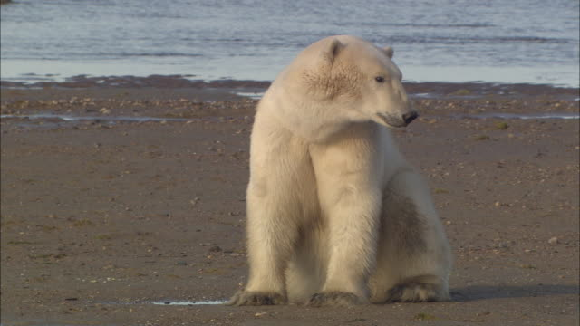 a polar bear sitting near the shore in the north pole - sitting stock videos & royalty-free footage