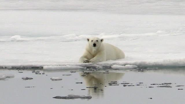 polar bear sitting, svalbard, norway - ホッキョクグマ点の映像素材/bロール