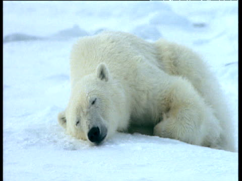 polar bear sleeping on snow, svalbard. - posture stock videos and b-roll footage