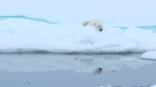 polar bear sleeping peacefully on ice floe - ice floe stock videos & royalty-free footage