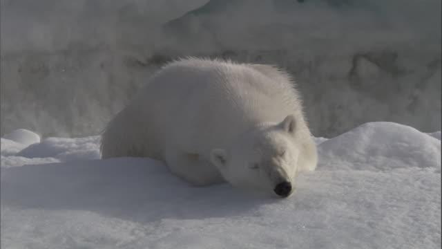 a polar bear sleeps on an ice floe in svalbard, norway. - resting stock videos & royalty-free footage