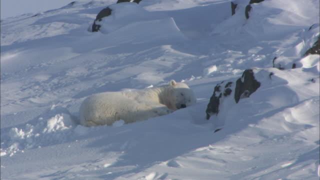 A polar bear sleeps on the snow in Svalbard, Arctic Norway.