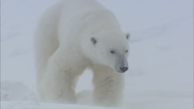 A polar bear slides and walks down a snowy slope in Svalbard, Arctic Norway.