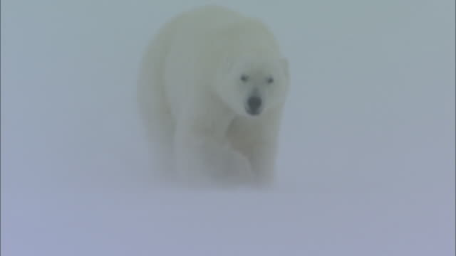 A polar bear slides down a snowy slope in Svalbard, Norway.