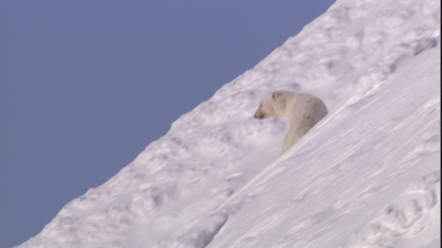 a polar bear slides down a snowy slope on svalbard, norway. - rutschen stock-videos und b-roll-filmmaterial