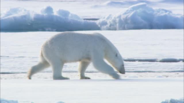 A polar bear slides on sea ice in Svalbard, Arctic Norway.