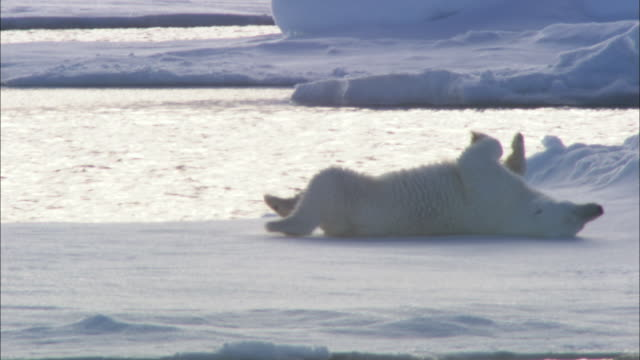 a polar bear slides on sea ice in svalbard, arctic norway. - rutschen stock-videos und b-roll-filmmaterial