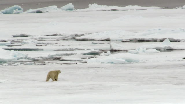polar bear, small in big landscape, svalbard, norway - animals in the wild stock videos & royalty-free footage