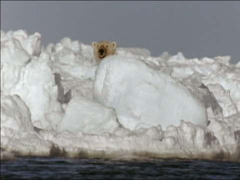 Polar bear (Ursus maritimus) sniffing air from behind ice boulder on snowbank along Arctic Ocean/ Alaska