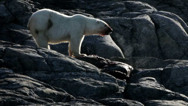 polar bear sniffing air