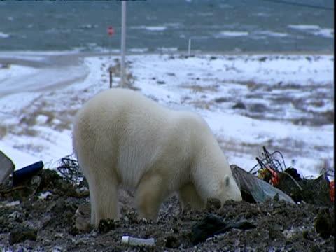 polar bear (ursus maritimus) sniffing around rubbish tip - bear stock videos & royalty-free footage