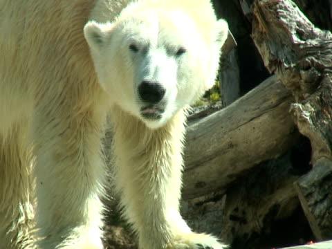 polar bear sniffs and eats - polar climate stock videos and b-roll footage