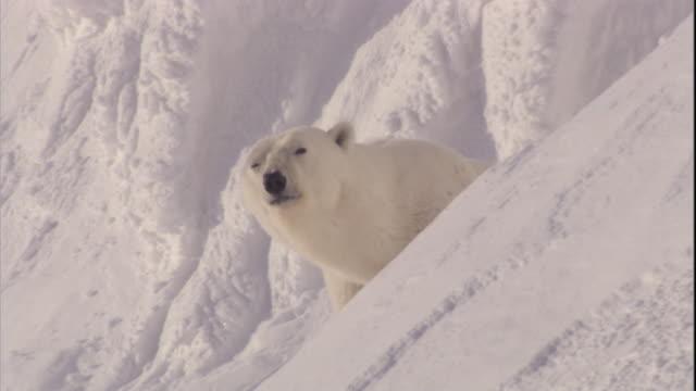 a polar bear sniffs the air on a snowbank on svalbard, norway. - eisbär stock-videos und b-roll-filmmaterial