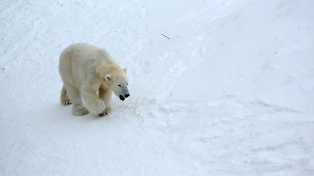 polar bear snow covered wildlife park ranua finland  - peter snow stock videos & royalty-free footage