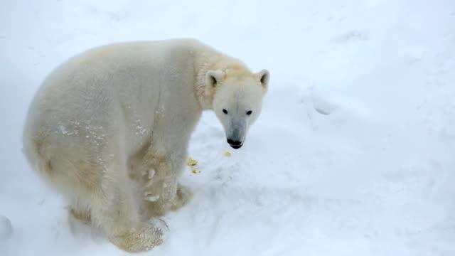 polar bear snow covered wildlife park ranua finland  - northern hemisphere stock videos & royalty-free footage