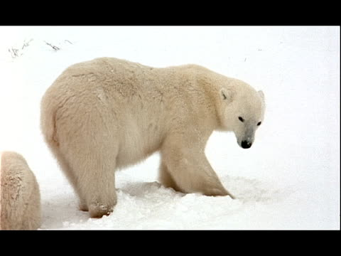 a polar bear sow digs in the snow. - 水の形態点の映像素材/bロール