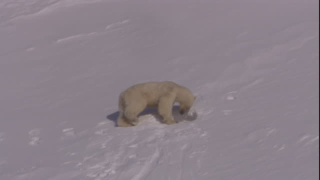 a polar bear squeezes into its den on svalbard, norway. - burrow stock videos & royalty-free footage