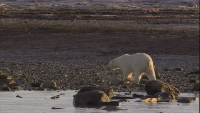 A polar bear stalks across a beach in Arctic Canada. Available in HD.