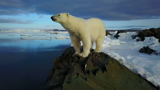 ms polar bear standing on rock then track as it walks away - ice stock videos & royalty-free footage
