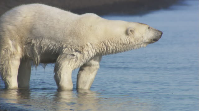 a polar bear stands in the shallows in svalbard, norway. - svalbard islands stock videos & royalty-free footage