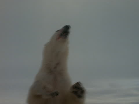 a polar bear stands in the snow. - standing点の映像素材/bロール