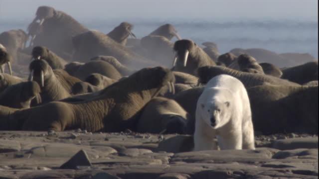 a polar bear stands near a colony of walruses on a rocky beach. available in hd. - eisbär stock-videos und b-roll-filmmaterial