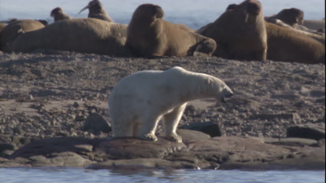 A polar bear stands on a beach and yawns as walruses move along the beach nearby. Available in HD.