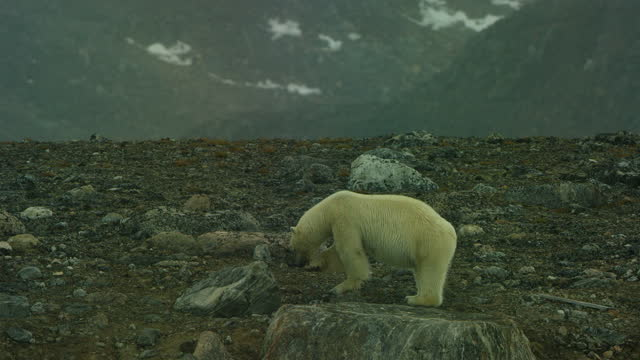 polar bear stands on rock and cleans its front paw - cetacea stock videos & royalty-free footage