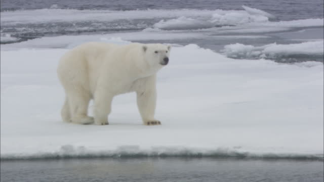 vidéos et rushes de polar bear stands up on hind legs on sea ice, svalbard, arctic norway *please do not alter shot desc* - climate change