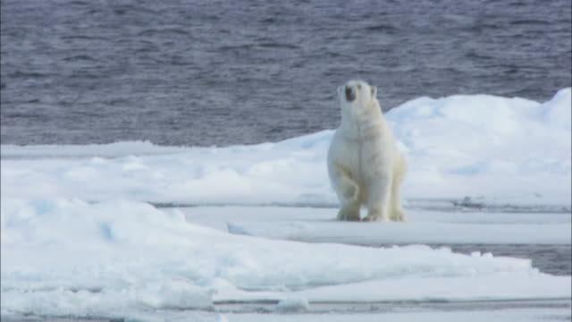 a polar bear stands up on its hind legs on sea ice in svalbard, arctic norway. - standing点の映像素材/bロール