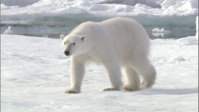 a polar bear strolls along an ice floe in svalbard, norway. - polar bear stock videos and b-roll footage