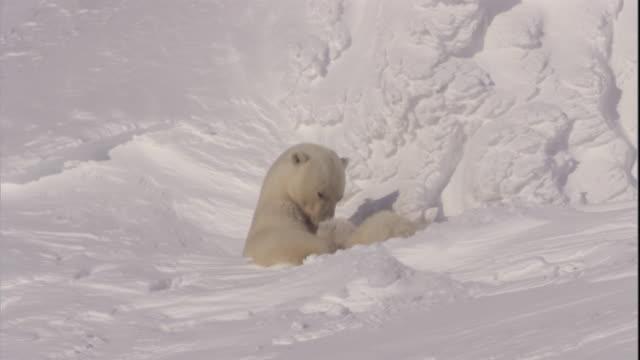 stockvideo's en b-roll-footage met a polar bear suckles her cubs on svalbard, norway. - dierenhol