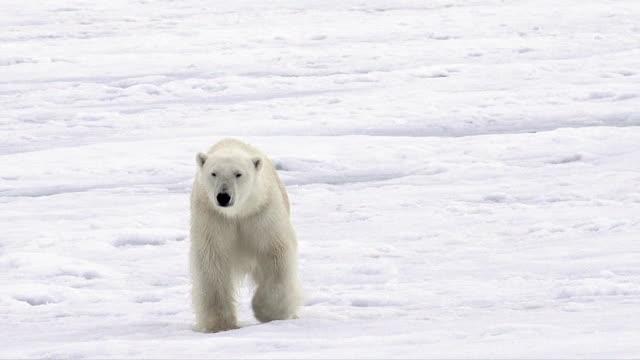 vidéos et rushes de polar bear, svalbard - arctique